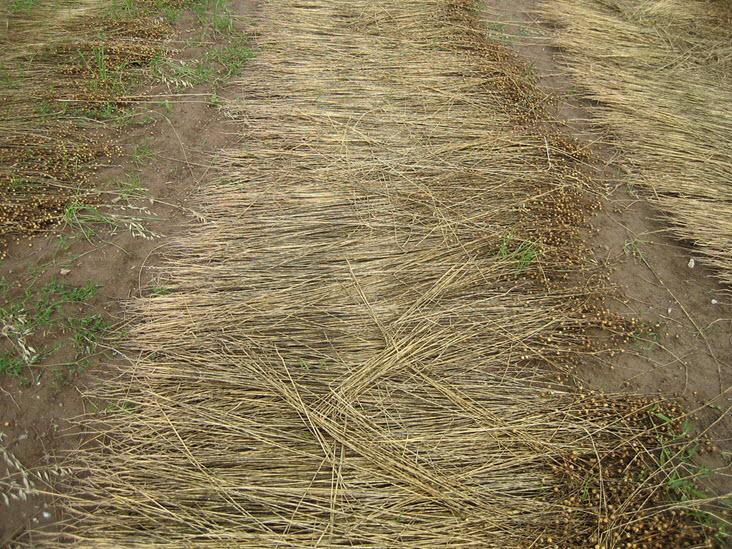 dew retting of flax