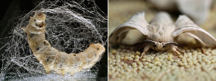 silkworm-and-moth